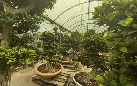 macrobonsai-ficus-garden-center-vivero-sa-porrassa